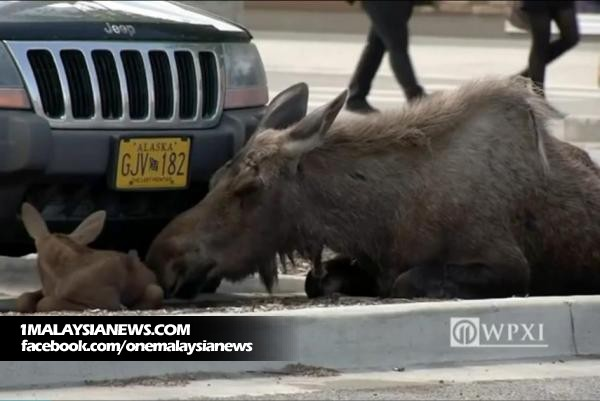 Mother-moose-stops-by-local-Lowes-to-give-birth-in-the-parking-lot